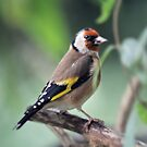Goldfinch by Astrid Ewing Photography