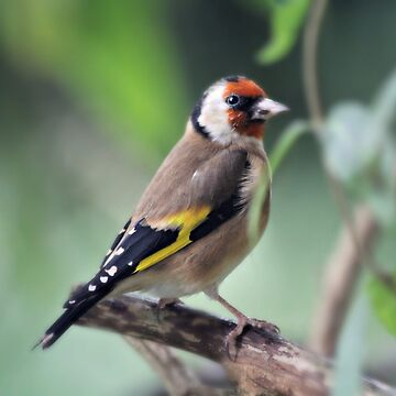 Goldfinch by gracethescene