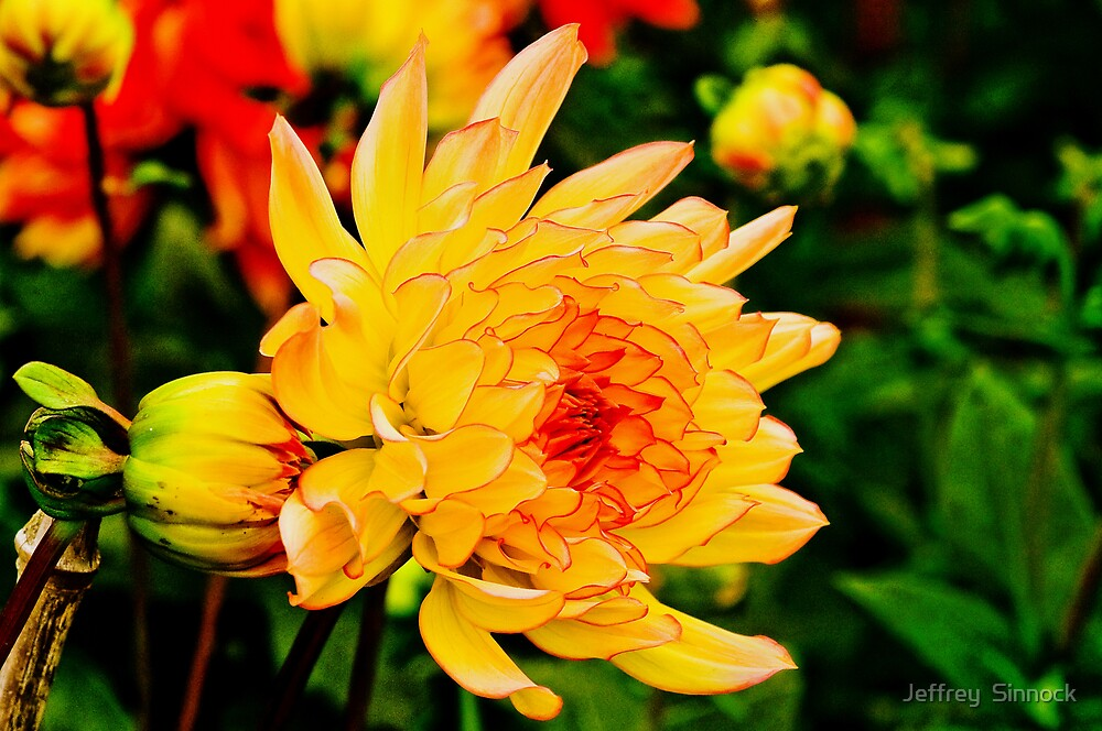 Dahlia aglow aglow by Jeffrey  Sinnock