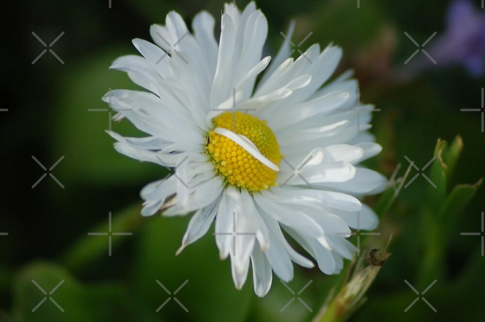 Simple daisy by loiteke