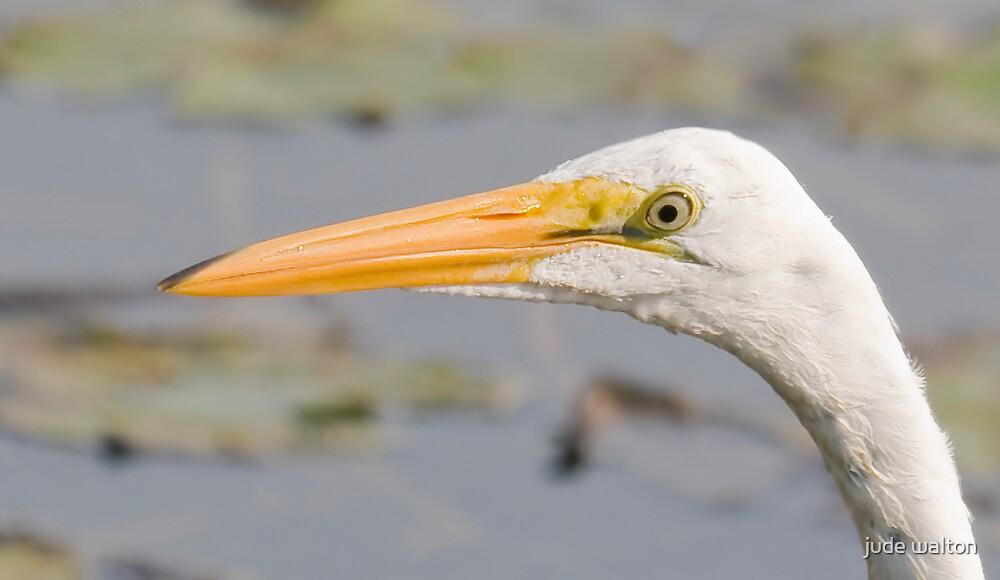 Great White Egret by jude walton