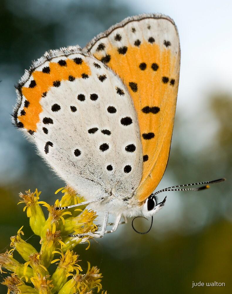 Lycaena hyllus (bronze copper butterfly) by jude walton