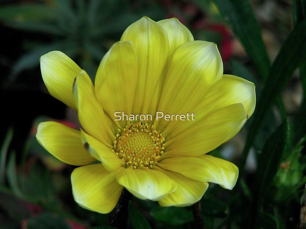 Yellow Gazania 2 by Sharon Perrett