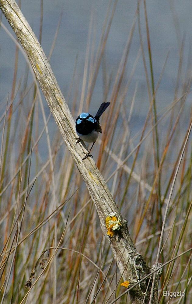 Blue Wren by Biggzie