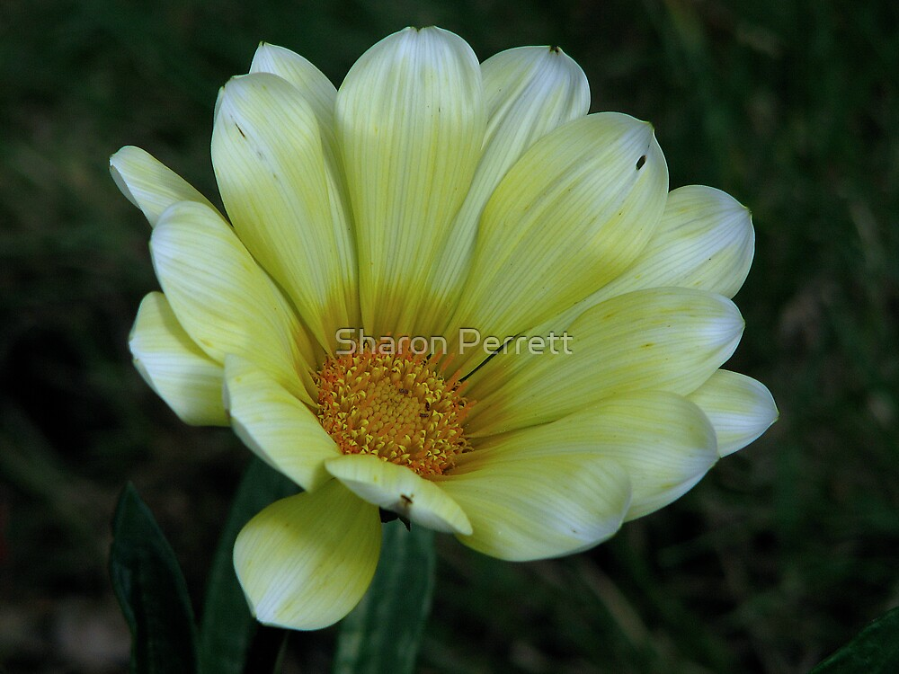 Yellow Gazania 3 by Sharon Perrett