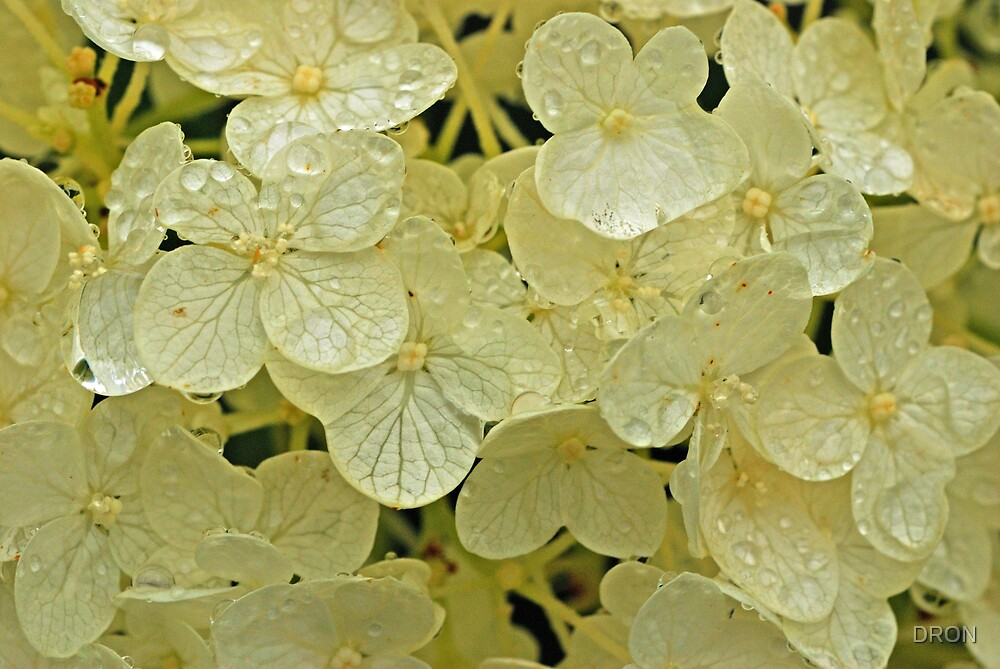 HYDRANGEA AFTER THE RAIN by DRON