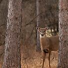 White-tailed deer in the forest by Jim Cumming