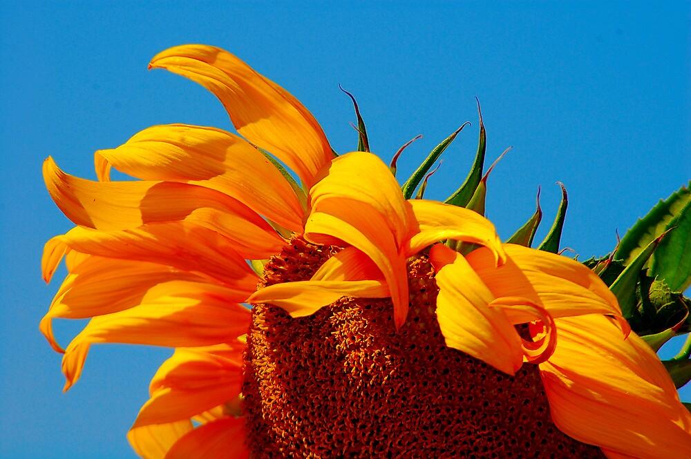 Sun Petals by Cynde143