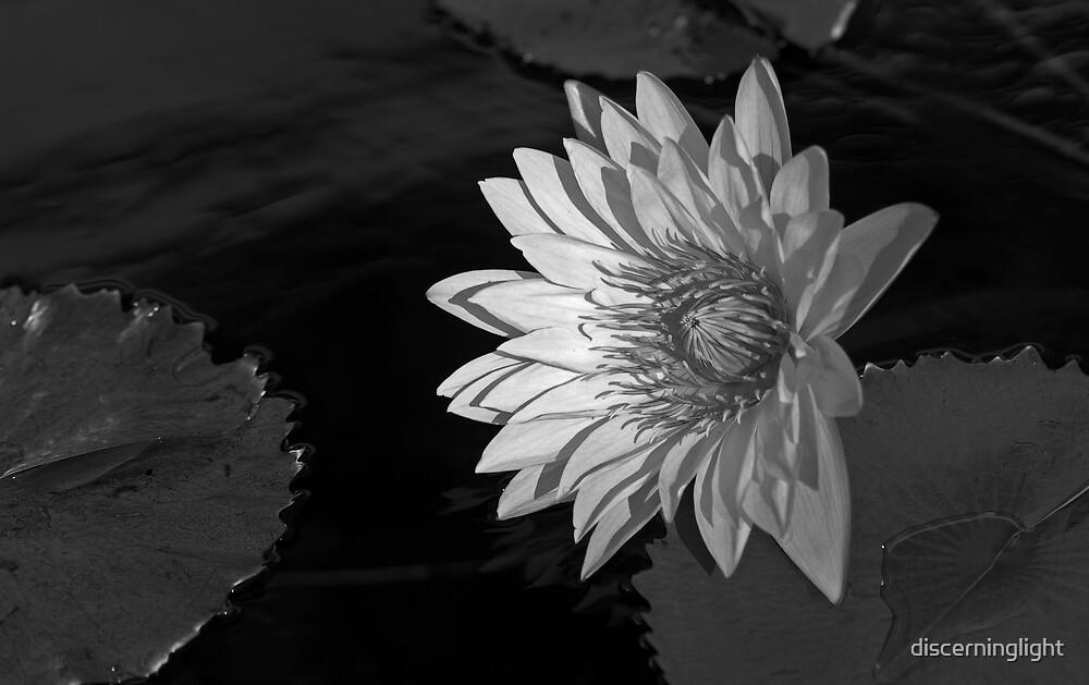 Lilly by discerninglight