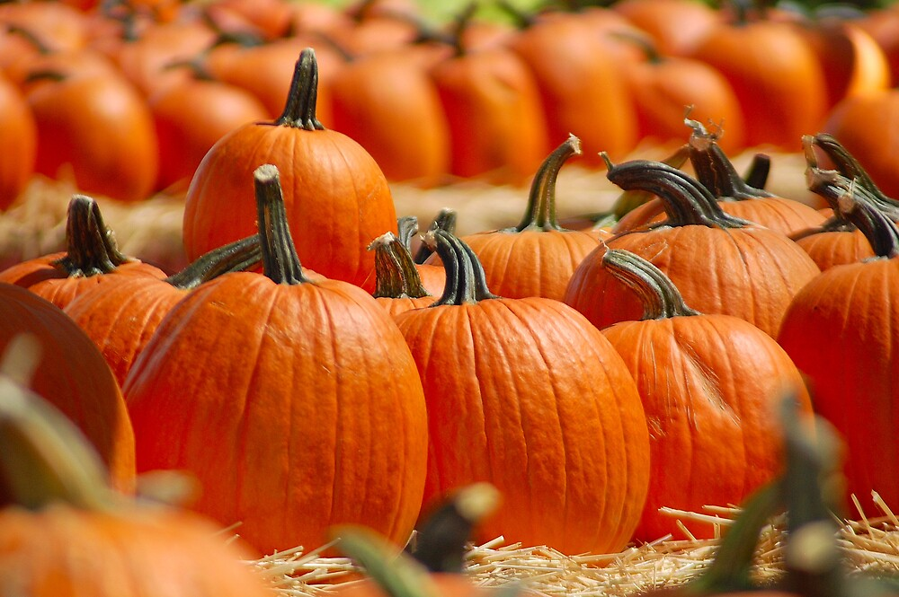Patch of Pumpkins by Cynde143