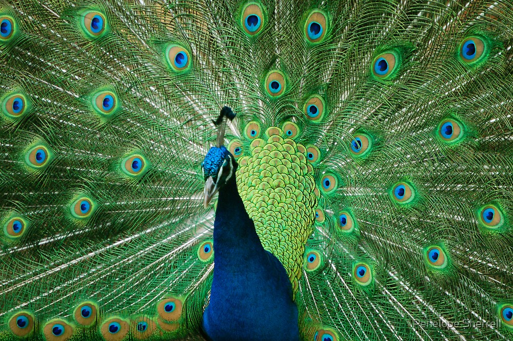 Peacock display by Penelope Sherrell
