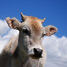 Looking at Moo by travellingtwo