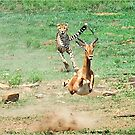 A DAY IN THE LIFE OF A CHEETA - CAPTURE SIX - CHEETAH – Acinonyx jabatus – Die Jagluiperd by Magriet Meintjes