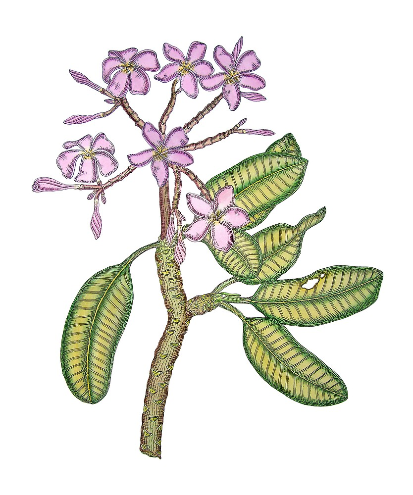 Pen and Ink Pink  Frangipani by joeyartist