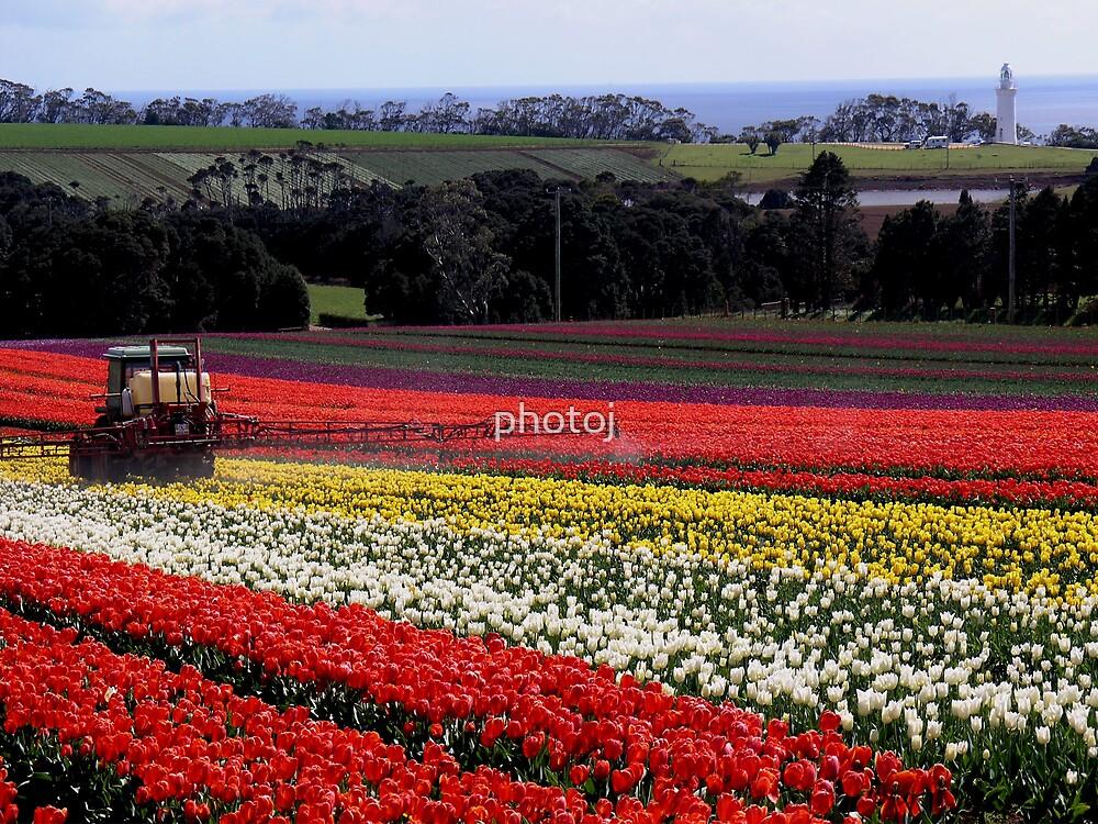 photoj Tas Tulip Farm by photoj