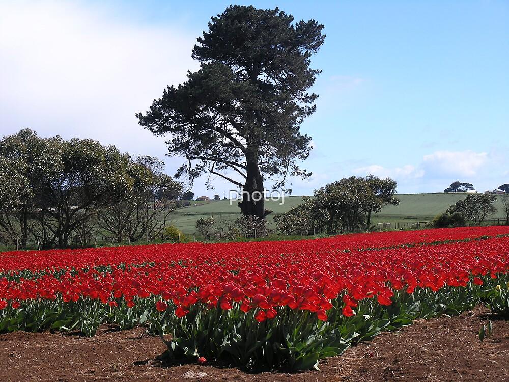 photoj Tas Tulip Landscape by photoj