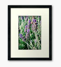 lavender patch... Framed Print