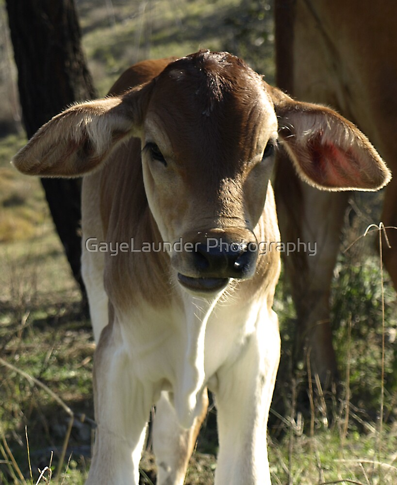 First Calf by GayeLaunder Photography