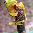 Tree Frog by elsha