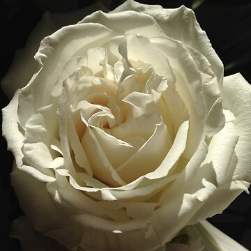 LIGHT ROSE by juliawaters