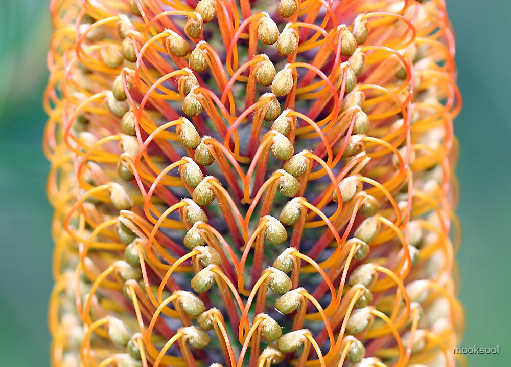 Banksia side by mooksool