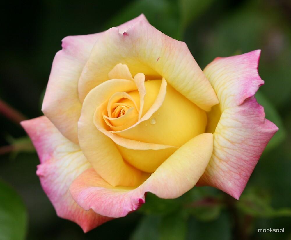 Soft rose by mooksool