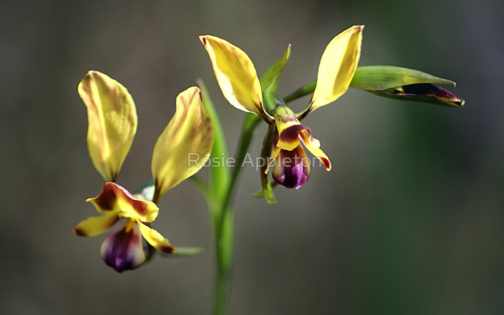 "Wallflower (Donkey) Orchid ""Diuris orientis"" by Rosie Appleton"