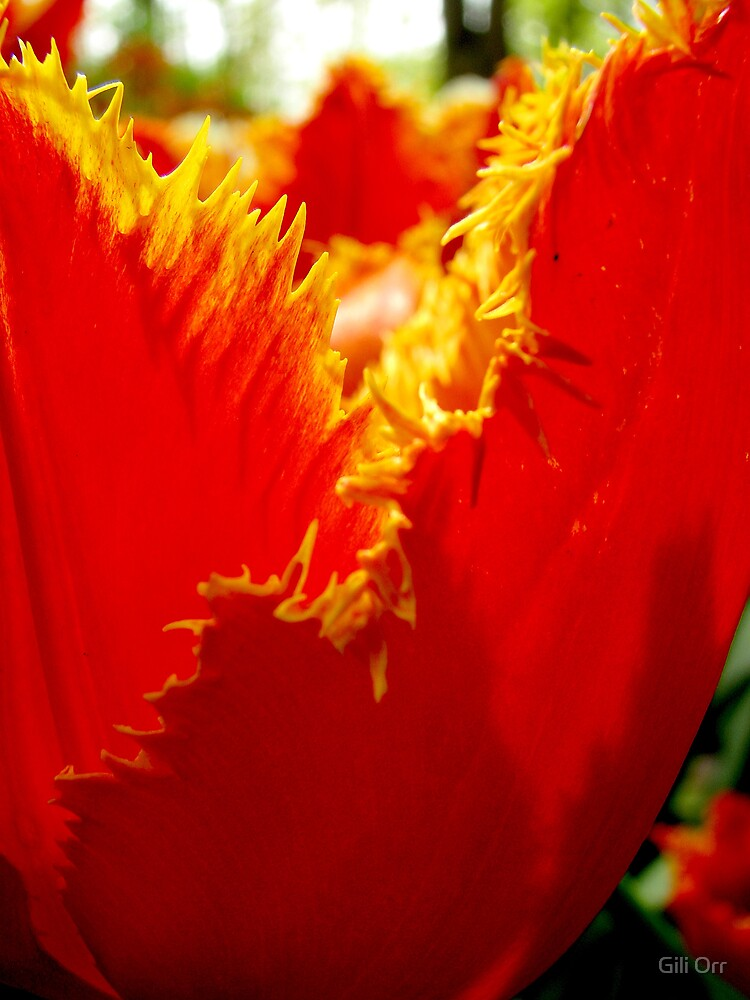 Glowing tulip by Gili Orr