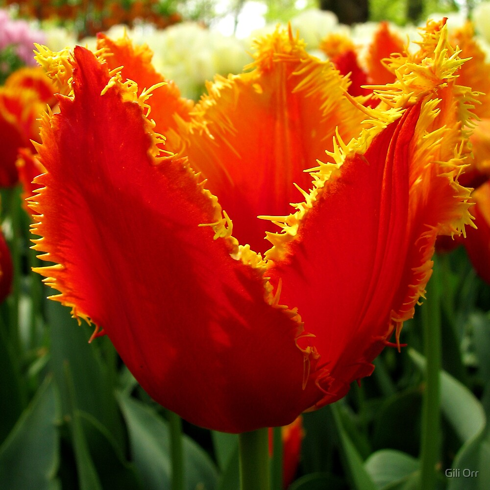 Another glowing tulip by Gili Orr