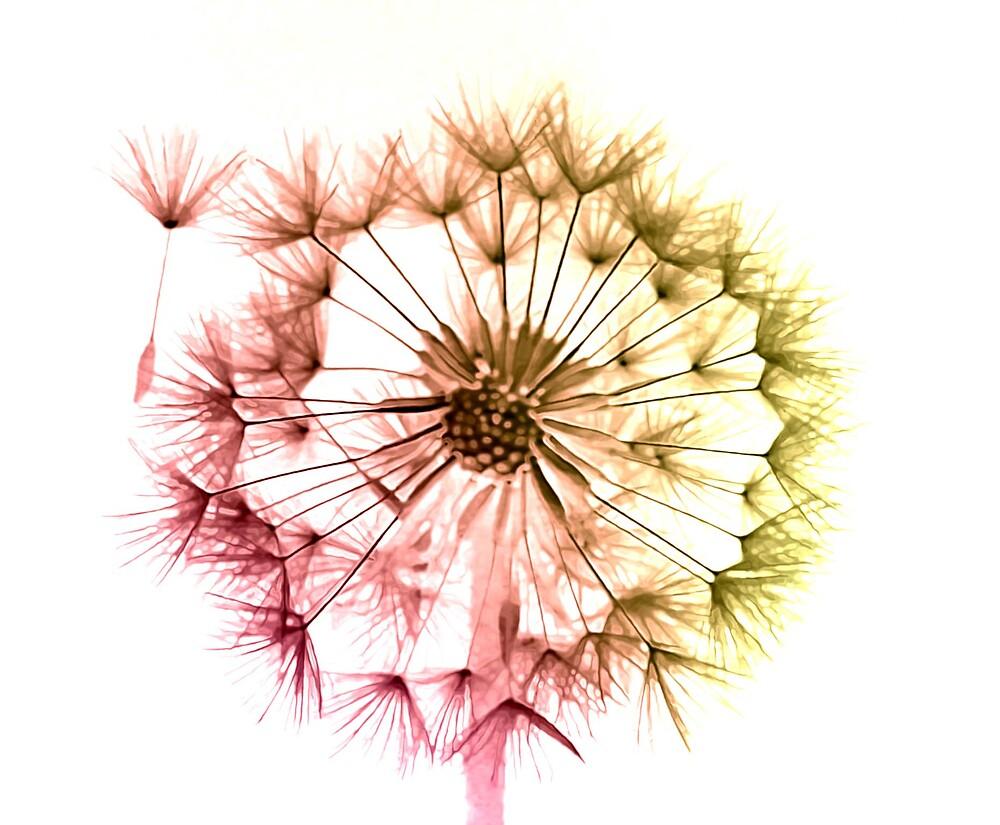 Dandelion Seed Head 4 by wysiwyg