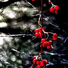 Red Berrys by Milgate Asher