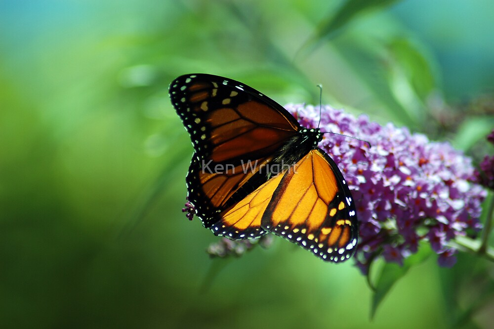 New Zealand Monarch 9 by Ken Wright