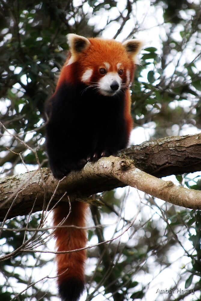 Red Panda by Amber Henry