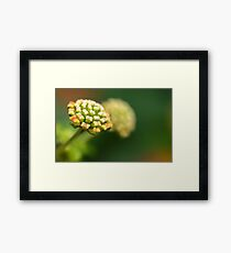 Colorful Hedge Flower, Weeping Lantana, Calippo Yellow Framed Print