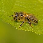 I Bee resting by Rick Playle