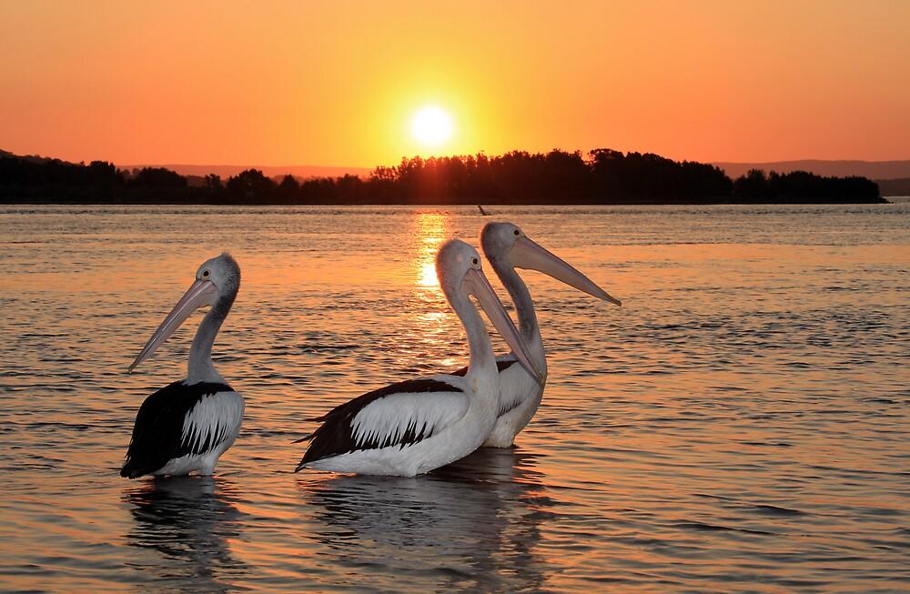 Pelicans relaxing by Steve D