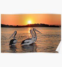 Pelicans relaxing Poster