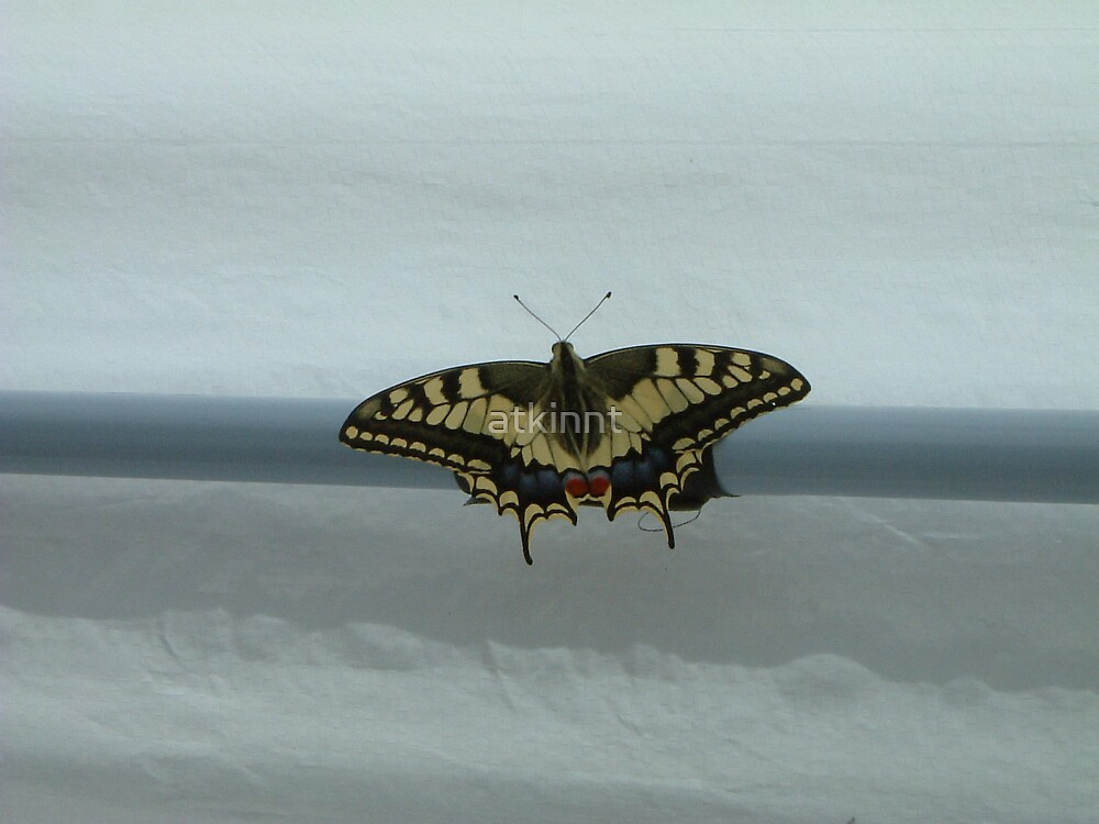 Swallowtail Butterfly by atkinnt
