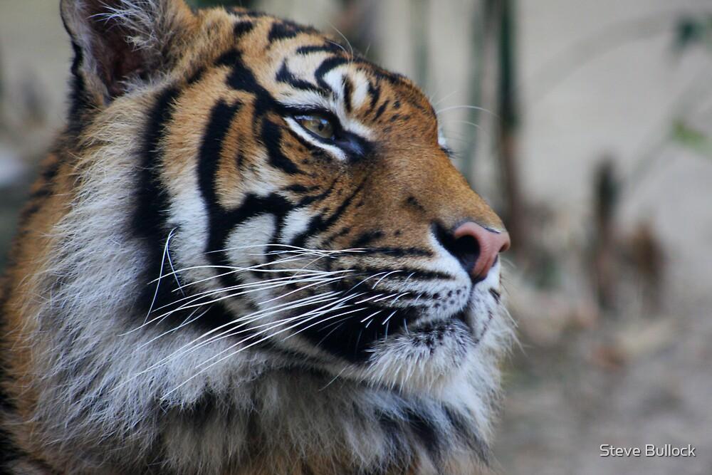 Tigress by Steve Bullock