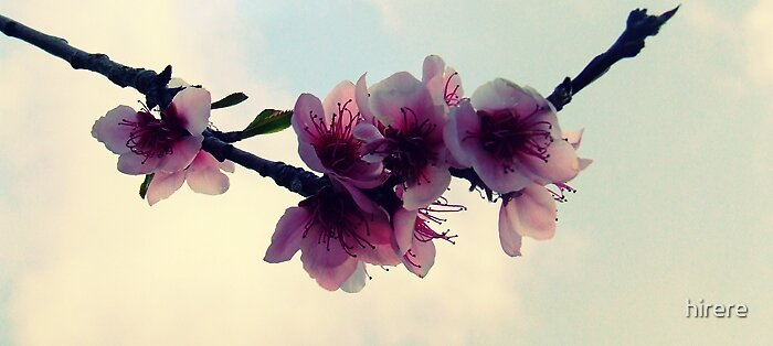 Peach Blossom again by hirere