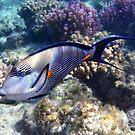 Sohal Surgeonfish Red Sea by hurmerinta