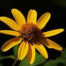 Yellow Splendor by Richard G Witham
