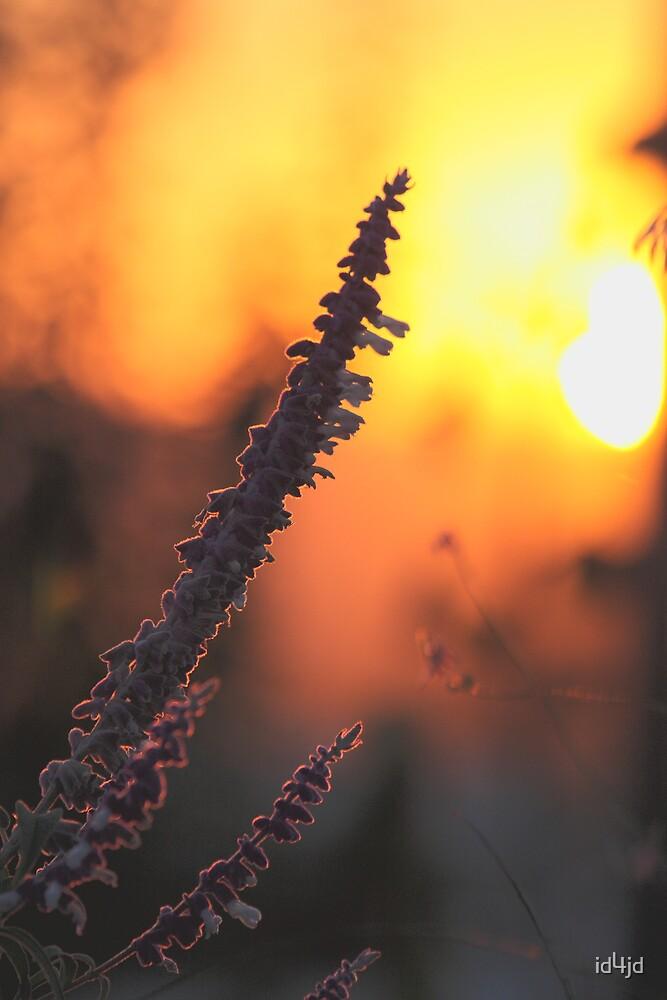 Evening Light by id4jd