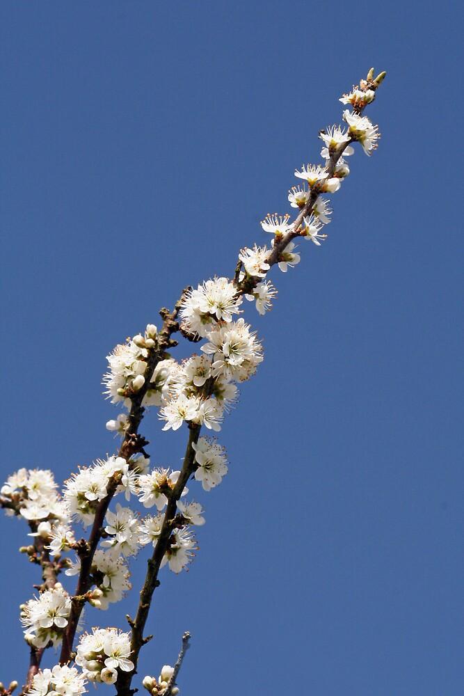 Blossom by Karen Millard