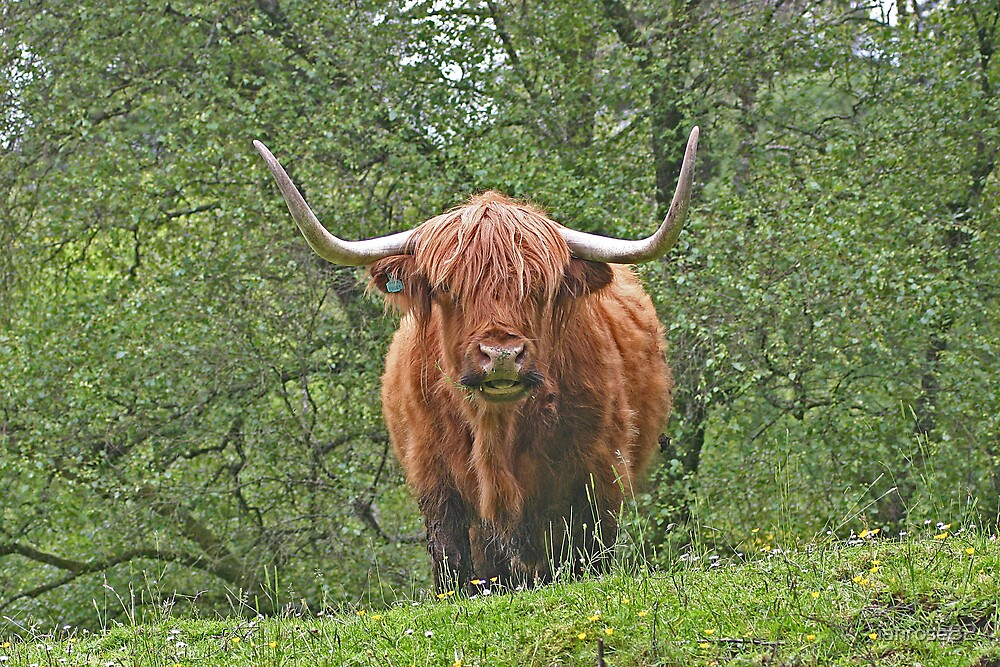 Highland Cow by ianrose82