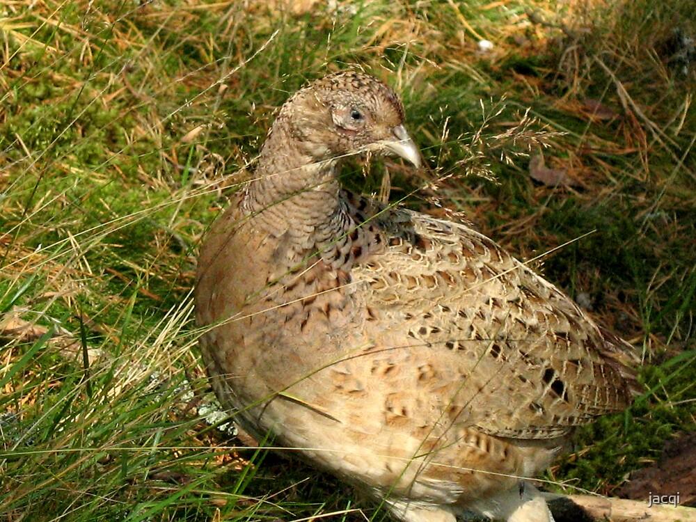 Hen Pheasant by jacqi