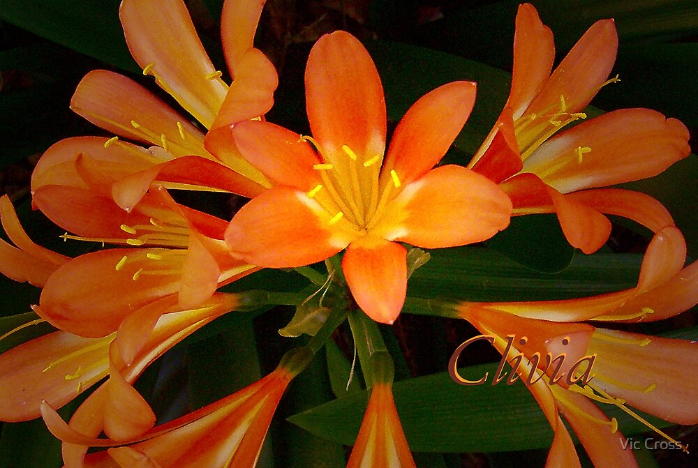 Clivia by Vic Cross