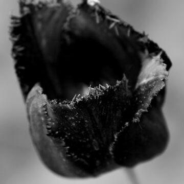 Black Tulip by purpleelephant