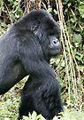 Silverback Gorilla II by Steve Bulford