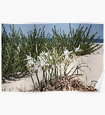 Flowers of sand lily on white sands of Mediterranean beach Poster